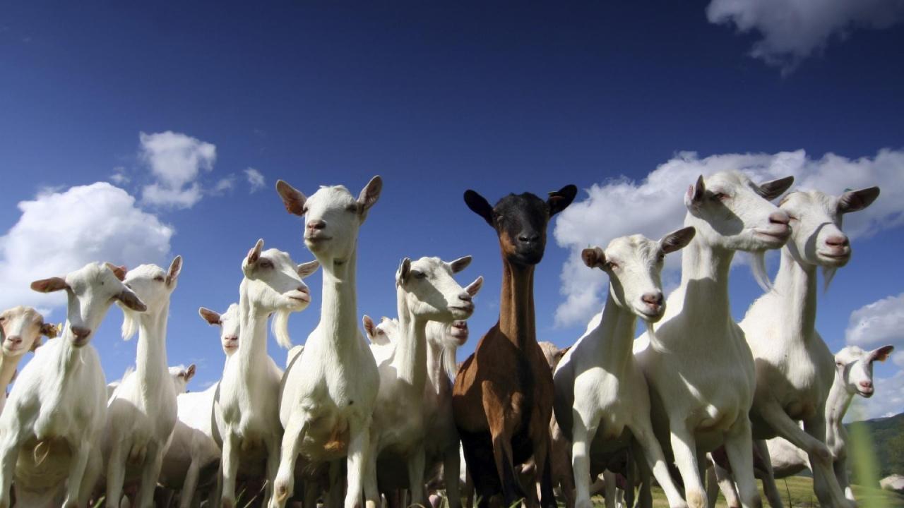 Goats, the Good, the Bad, the Myths