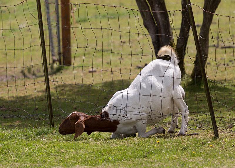 Naughty Goat